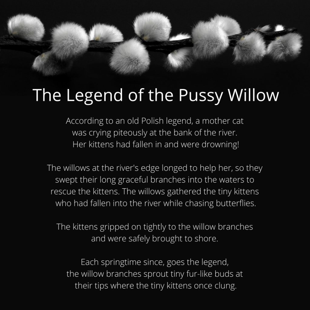 Legend of the Pussy Willow