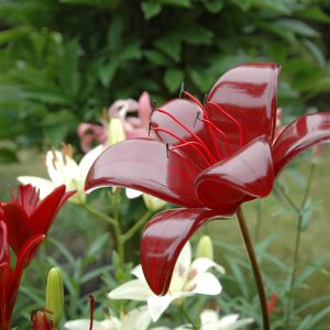 Dark Red Fused Glass Baby Black Out Lily Garden Art